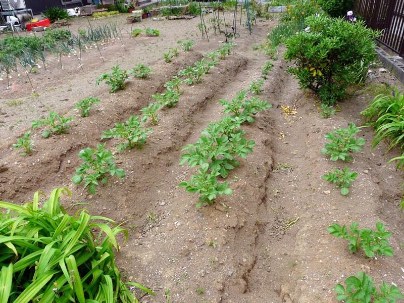 ジャガイモは種芋をただ植えるだけ。